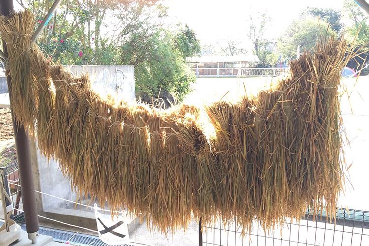 収穫した稲穂